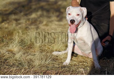 White Staff Terrier For A Walk With Its Owner. The Dog Sits On The Grass With His Tongue Out. The Ma
