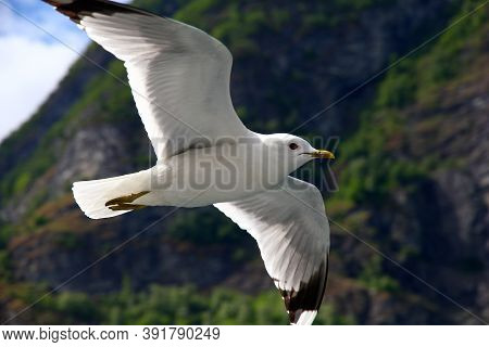 The Bird In The Cruise On Sognefjord And Aurlandsfjord, Norway