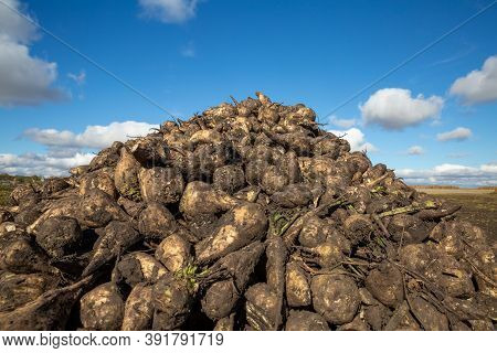 A Large Pile Of Sugar Beets In The Field Before Being Sent To The Factory. Ripe Sugar Beet