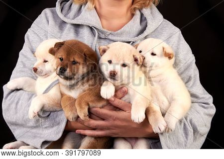 Four Cute Shiba Inu Puppies In The Hands Of A Breeder