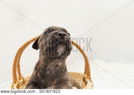 Staffordshire Terrier One-month Puppy Dog. Young Puppy Dog Sitting In Basket. Brown One Month Puppy