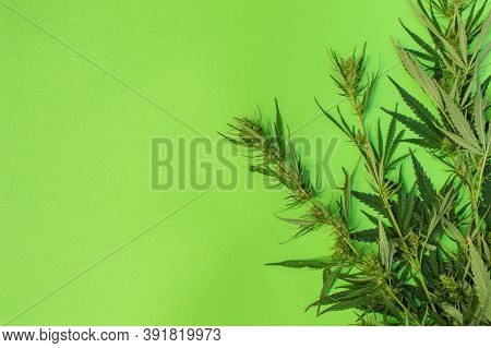 Cannabis Branch On A Green Background, Plant Used Recreationally Or As A Medicinal Drug, Copy Space