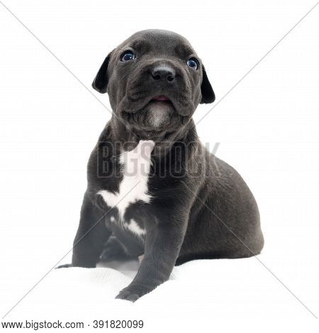Isolated Staffordshire terrier one-month puppy dog. Young puppy dog sitting on white blanket. Puppy dog looking at camera with puppy dogeyes. One month puppy dog. Puppies