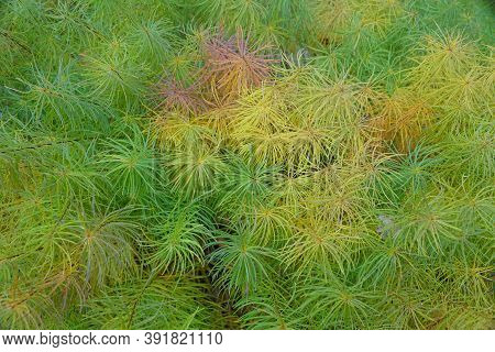 Colorful Leaves Of Arkansas Amsonia For Ground Cover
