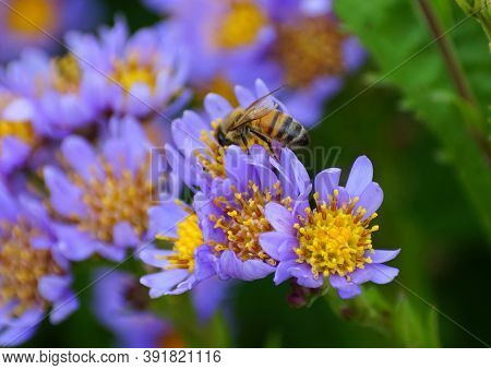 A Bee Pollinating The Tatarian Aster Flowers