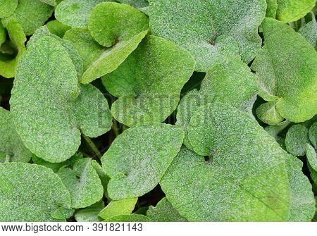 Soft Green Leaves Of Sticky Jerusalem-sage Plants