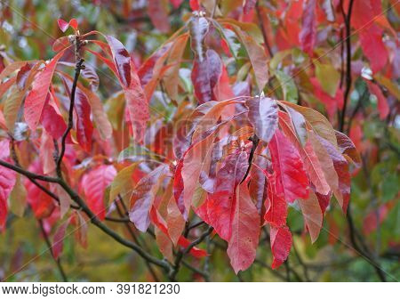 Red Leaves Of Franklinia Tree Changing Colors In The Fall