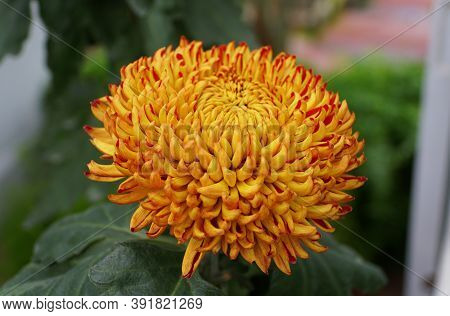 Yellow And Red Color Of Chrysanthemum 'western Bushfire' Flower