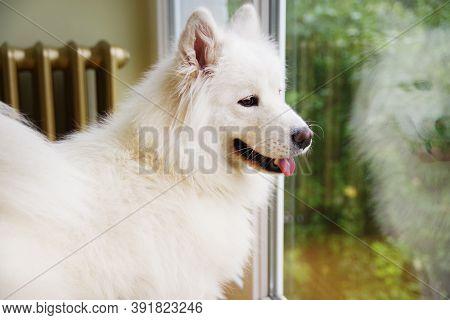 White Samoyed Dog Looks Out The Window. Samoyed - Beautiful Breed Siberian White Dog.