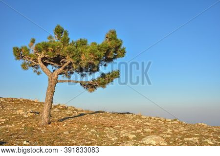 Lonely Pine Tree Rock, Tree Mountain, Pine On The Cliff