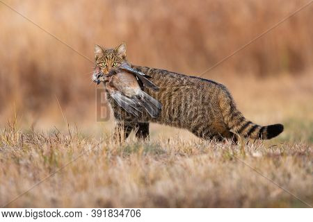 Fierce European Wildcat Holding Dead Bird In Mouth In Autumn.