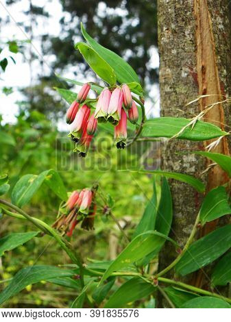 Beautiful Flowers Of Pink Bomarea In Wild Nature.  It Could Be Find In Central And South America At