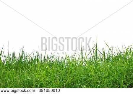 The Green Grass Isolated On White Background