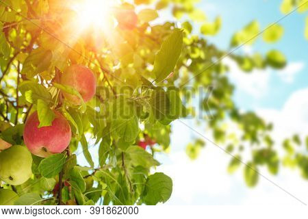 Apples on an apple tree against background of blue sky and sun. Fresh summer fruits or autumn harvest