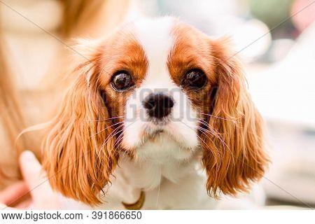 Portrait Purebred Cute Puppy Cavalier King Charles Spaniel Natural Blurry Background.