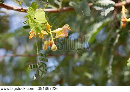 New Tamarind Flower Growing In Summer For Background