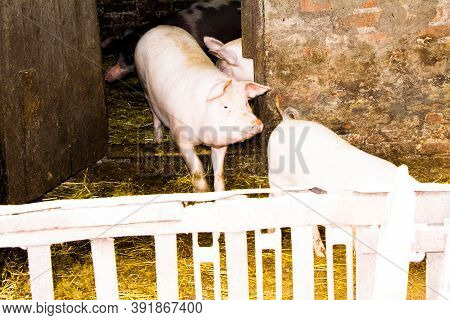 Piglet Pen Piglets In That Pen Are White And Dark