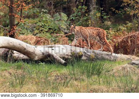 The Eurasian Lynx (lynx Lynx) Walking On The Dry Trunk In The Woods. A Large European Cat In The Typ