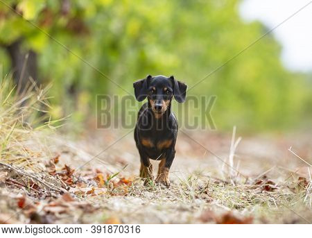 Black And Tan Dachshund Walking In The Nature