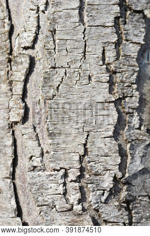 Western Red Cedar Martin Bark Detail - Latin Name - Thuja Plicata Martin