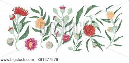Eucalyptus Branches With Leaves And Flowers. Evergreen Herbaceous Plant Of Gumtree. Detailed Realist