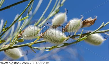 Fruits Of Hairy-fruited Broom, Cytisus Striatus. It Is A Leguminous Shrub Native To The Iberian Peni