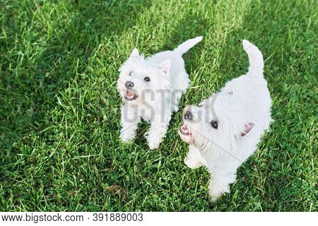 A Pair Of Lovely West Highland White Terrier Walk In The Yard On The Green Grass In Sunny Autumn Wea