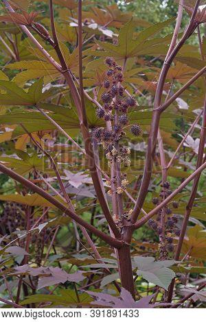 Castor Bean Plant (ricinus Communis). Called African Woner Tree, Castor Oil Plant And Mole Bean Plan