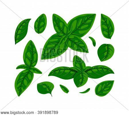 Fresh Green Basil Leaves Set. Flat Natural Fresh Food Herb Leaf Isolated On White, Cooking Ingredien