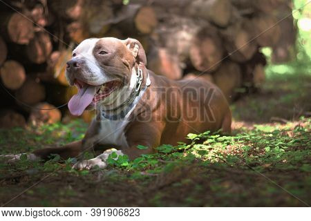 A Brown Pit Bull Is Lying On The Green Grass.