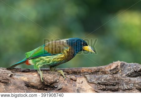A Beautiful Great Barbet (megalaima Virens), Perched On A Tree Log On A Sunny Day, In The Forests Of