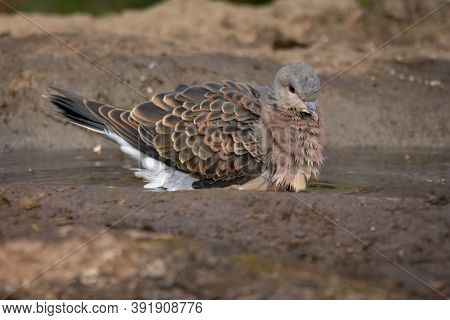An Attractive European Turtle Dove (streptopelia Turtur), Bathing In A Small Pool Of Water, In The F