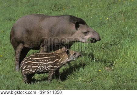 Female And Young Lowland Tapir Tapirus Terrestris