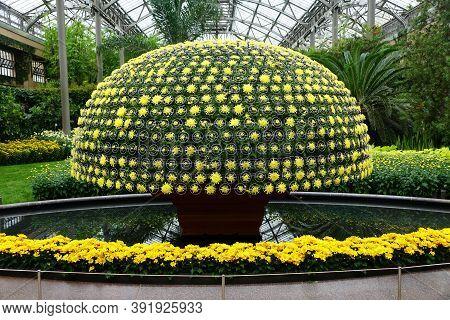 Yellow Chrysanthemum Flowers Arranged As A Shape Of Large Umbrella