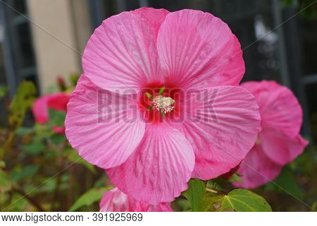 Beautiful Pink Color Of Chinese Hibiscus At Full Bloom