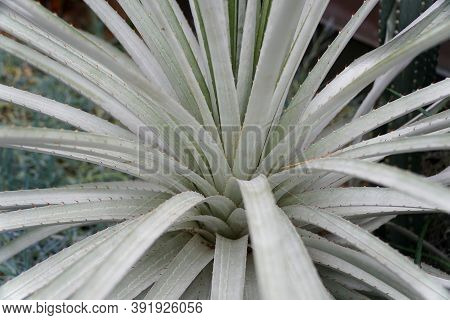 Pale Green Color Of Puya, A Plant From Bromeliad Family