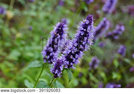 Blue Rusty Foxgloves Flowers, An Upright Perennial Plant