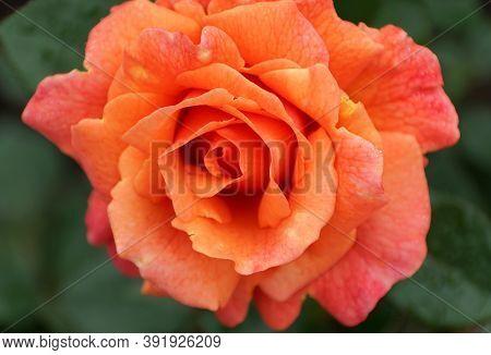 Orange And Pink Color Of Floribunda Rose 'harpageant' Flower