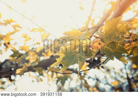 Green Color Plane Tree Leaves And Fruits On Sunny Sky Background. Platanus Orientalis, Old World Syc