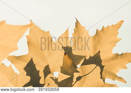 Brown Color Plane Tree Leaves Isolated On White Background. Platanus Orientalis, Old World Sycamore,