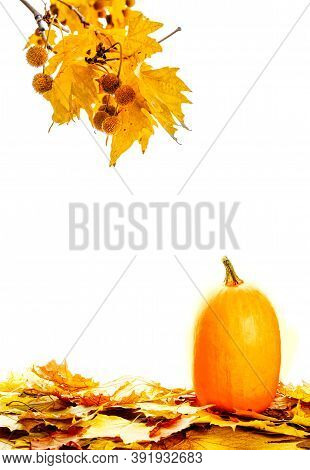 Fresh Autumn Pumpkin With Fall Leaves Isolated On White Background. Thanksgiving Copcept.