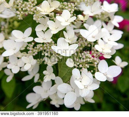 White Flowers Of Hydrangea Paniculata As Background