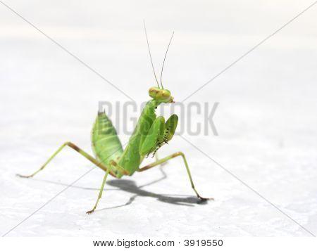 Green Mantes