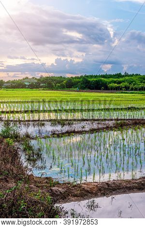 Rice Field, Agriculture, Paddy, With Sky Sunrise Or Sunset In Twilight