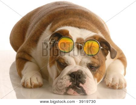engllish bulldog with funny looking four eys poster