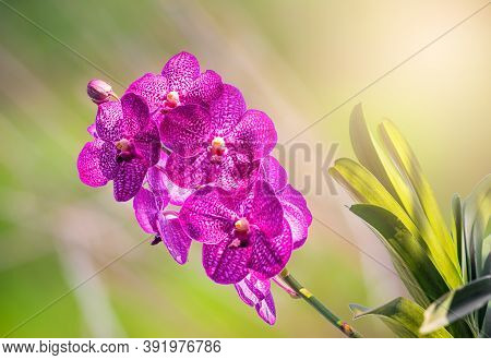 Orchid, Vanda Sanderiana, Considered, As The Queen Of Philippine, Orchid Flowers On Blurred Green Na