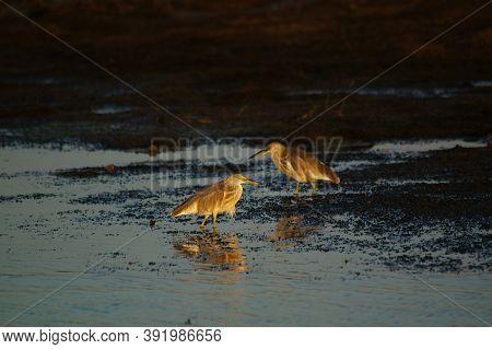Javan Pond Heron Is Looking For Food On The Ground