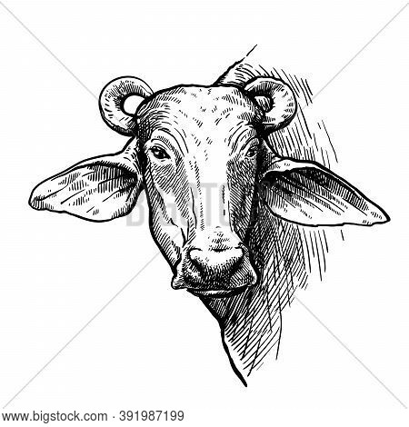 Breeding Cattle. Head Of A Water Buffalo. Vector Sketch On White Background