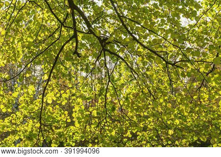 Large-leaved Lime Or Large-leaved Linden At Autumn Time.