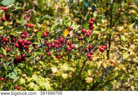 Close-up Of A Twig Of A Hawthorn Bush With Ripe Red Berries